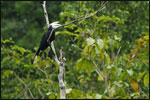 The Asian Black Hornbill (Anthracoceros malayanus) is one of several species found at Lambir Hills National Park.